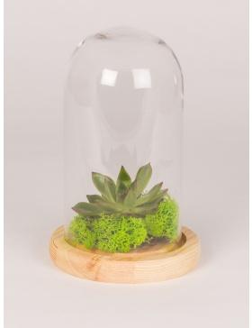 Clopot de sticla si platou de lemn cu planta aeriana